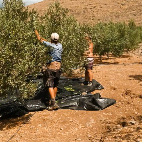 Olivenöl-5
